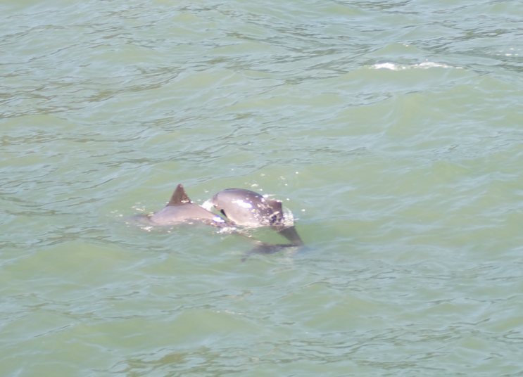 San Francisco Harbor Porpoises (photo credit:  A.K. Rosenberg)