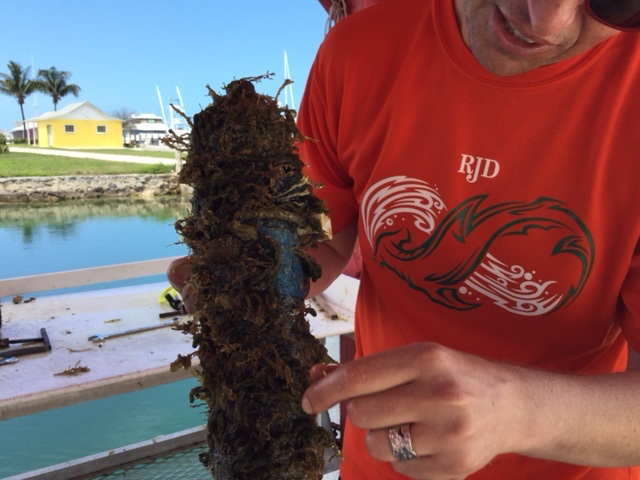 Dr. Neil Hammerschlag shows us all the growth on a recently pulled hydrophone.  This is cleaned off so that when they go back in the water, there's no growth on them at all!